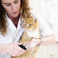 couper griffes chat