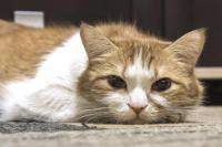 leucemie feline